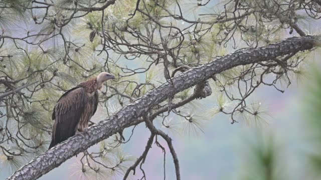 Griffon Vulture  rare bird in forest Griffon Vulture vulture stock videos & royalty-free footage