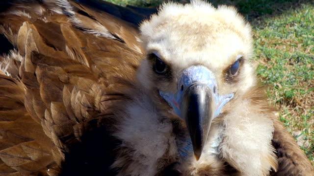 Griffon Vulture Sitting on Grass video