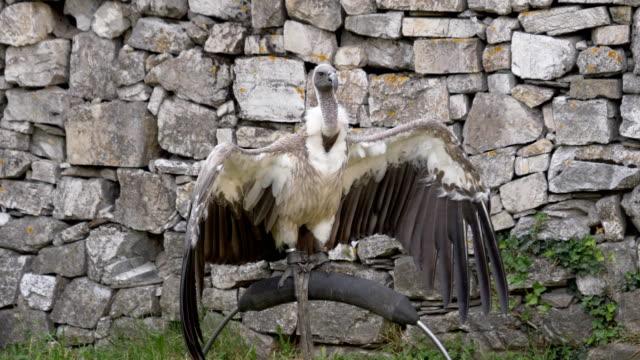 Griffon Vulture - video