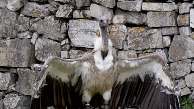 Griffon Vulture - video