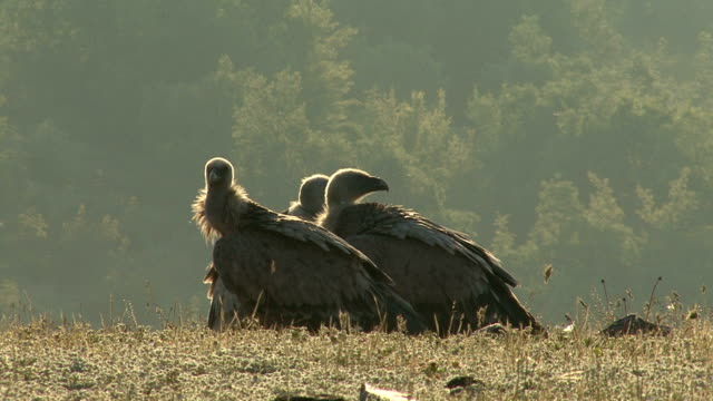 Griffon Vultures (Gyps filvus) eating carcass in the morning Group, flock of Vultures eating carcass on the mountain meadow, sunrise time. Beautiful blurred background. new world vulture stock videos & royalty-free footage