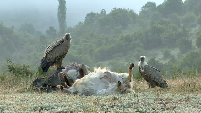 Griffon Vultures (Gyps filvus) eating carcass in the morning Group, flock of Griffon Vultures eating carcass on the mountain meadow, sunrise time. Beautiful blurred background. new world vulture stock videos & royalty-free footage