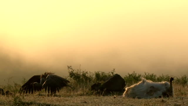 Griffon Vultures (Gyps filvus) eating carcass in the sunrise Group, flock of Vultures eating carcass on the mountain meadow, sunrise time. Beautiful blurred background. new world vulture stock videos & royalty-free footage