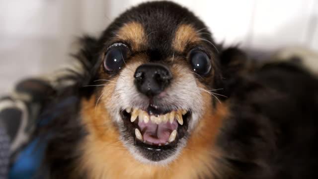 grin of a small cute dog - гнев стоковые видео и кадры b-roll