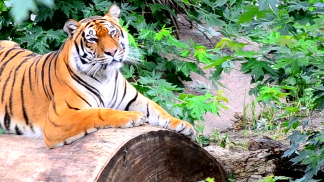 Grin tiger. video