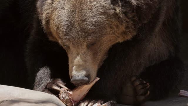 grizzly bear chews on bone fragment closeup