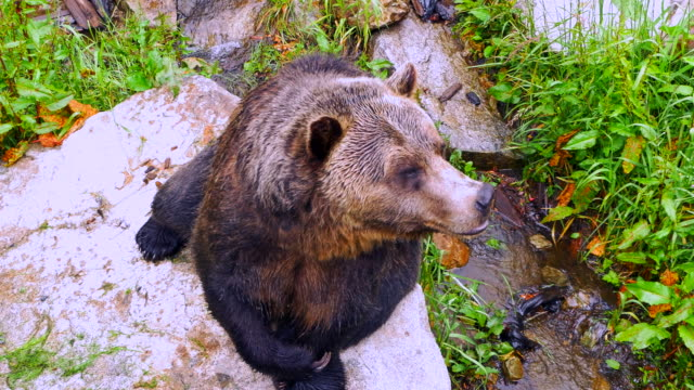 Grizzly Bear Close Up, Wildlife Close Up video