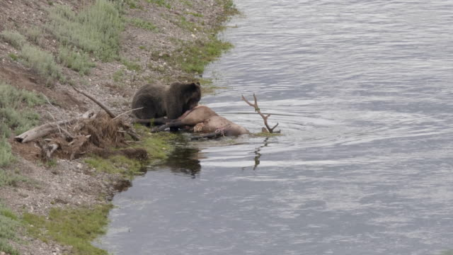 grizzly bear dragging an elk carcass in the hayden valley of yellowstone