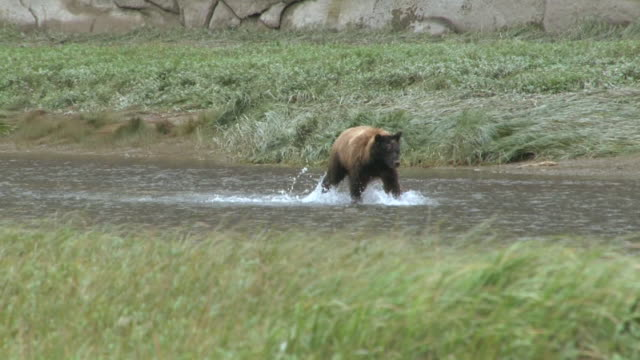 grizzly bear fishing - bear stock videos and b-roll footage