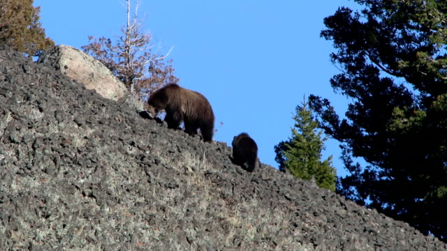 Grizzly bear mother sow walks cub Yellowstone National Park Wyoming Walking closely, a grizzly bear mother leads the way through the mountain of boulders on Junction Butte while her cub follows behind in Yellowstone National Park, Wyoming. boulder rock stock videos & royalty-free footage
