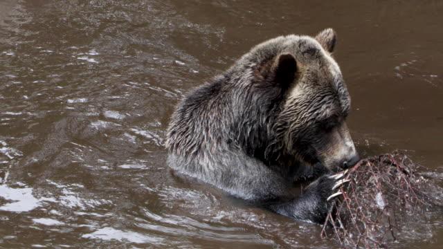 vídeos de stock, filmes e b-roll de grizzly bear - américa do norte