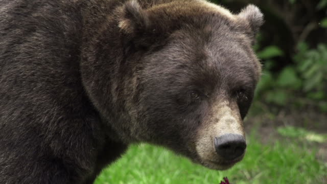 slow motion: grizzly bear - bear stock videos and b-roll footage