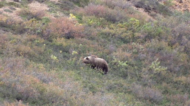 Grizzly Bear video