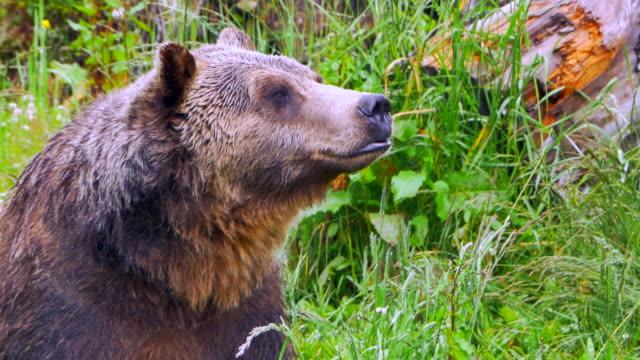 野生のグリズリー ・ ベアーをクローズ アップ、フィールド、リラックスに座っているクマ ビデオ