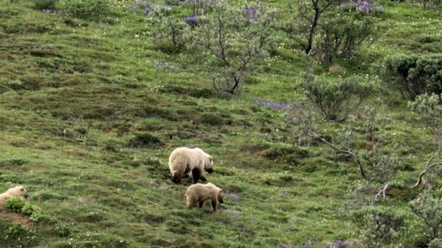 grizzly bear med hennes unga ungar - djurfamilj bildbanksvideor och videomaterial från bakom kulisserna