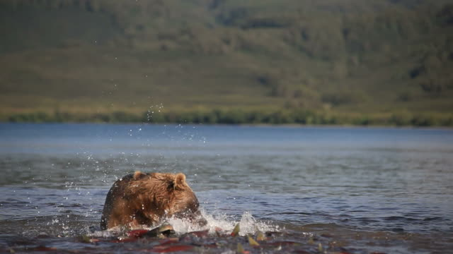 Grizzly bears fishing for salmon, Kamchatka, Russia video