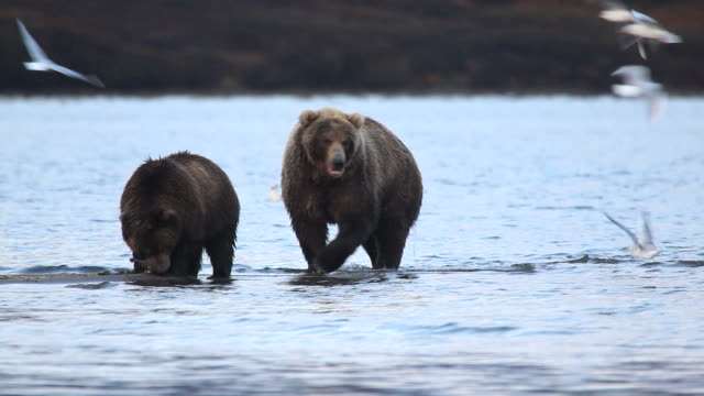 Grizzly bears fishing for salmon video