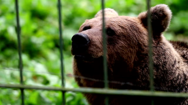 Grizzly brown bear smelling video