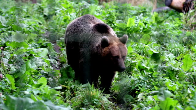 Grizzly brown bear walking in the green luscious area video