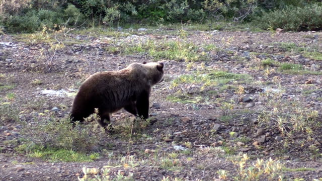 Grizzly Feeding on Berries in Fall video