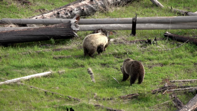 Grizzly pair eating walk forest fire burnt logs Yellowstone National Park Wyoming video