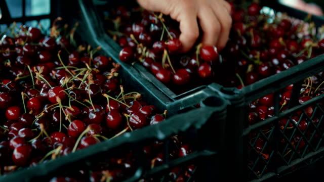 Lebensmittelmarkt. Kunde, Kirschen in die Plastiktüte. – Video