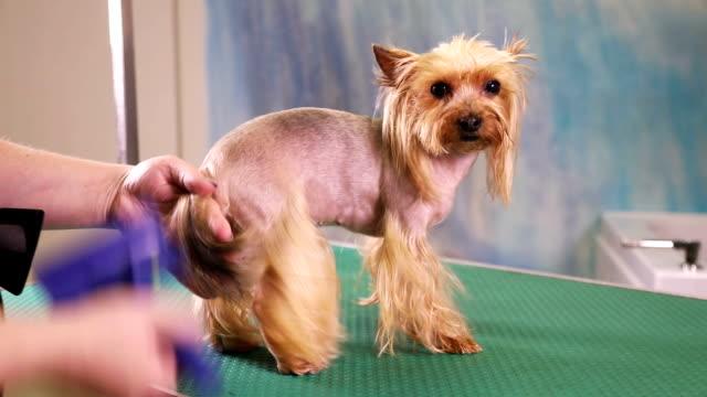 Groomer Comb Yorkshire Terrier Dog Stock Video 628108384 Istock