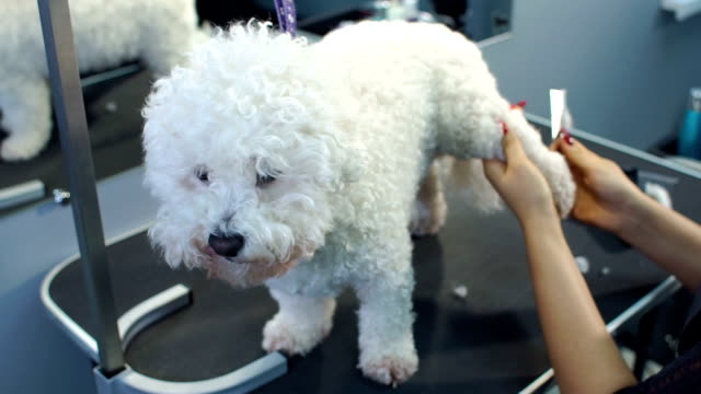 groomer combs dog bichon frise in the barber shop for dogs. - bichon frisé video stock e b–roll