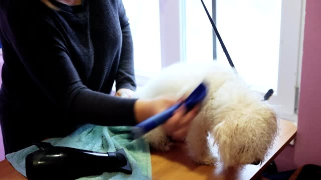 Groomer combs the bichon frise dog after washing