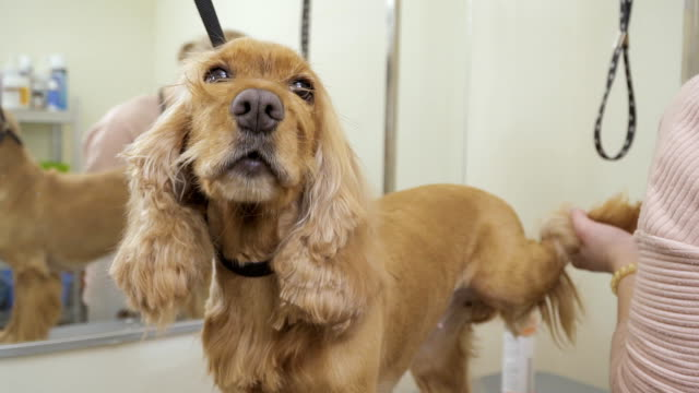 Groomer cuts nails on paws to cocker spaniel video