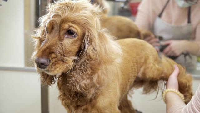 Groomer dries fur at dog's paws video