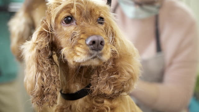 Groomer dries fur of dog video