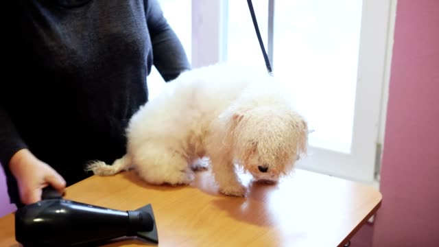 Groomer dries the bichon frise dog with a hair dryer after washing