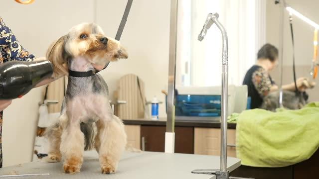 vidéos et rushes de dameuse sèche cheveux le chiot avec un séchoir à cheveux - soins capillaires