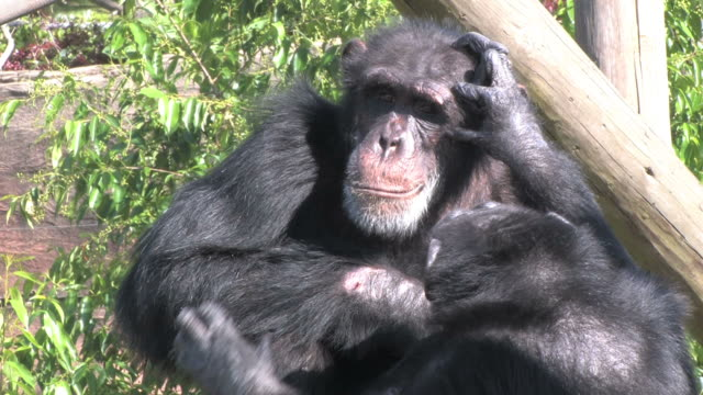 уход за поверхностью тела у животных chimps в hd - уход за поверхностью тела у животных стоковые видео и кадры b-roll