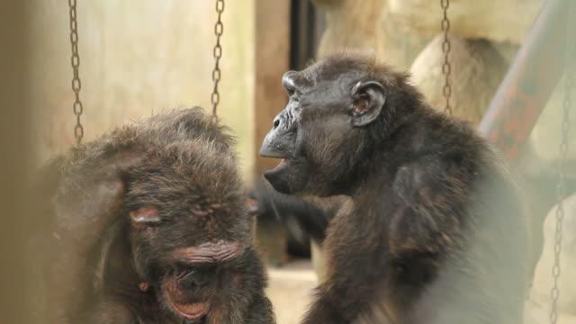 Grooming Chimps.
