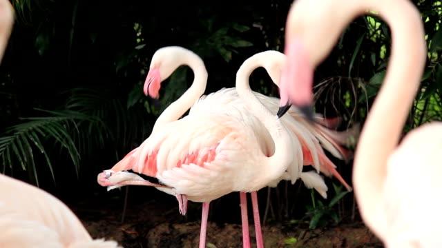 перья фламинго птица уход за поверхностью тела у животных - уход за поверхностью тела у животных стоковые видео и кадры b-roll
