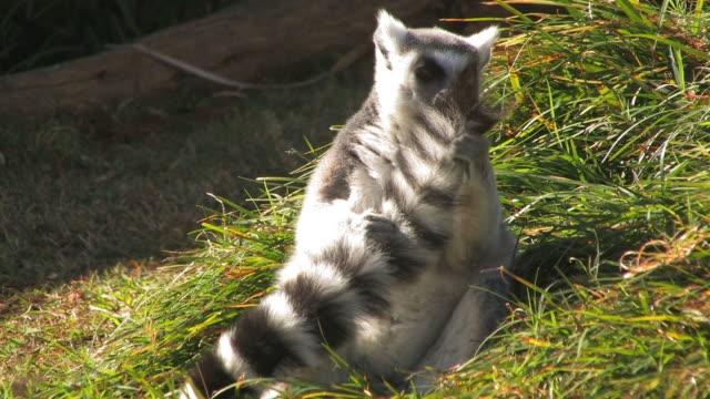 grooming lemur - lemur bildbanksvideor och videomaterial från bakom kulisserna