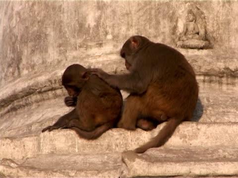 grooming monkeys - stupa stok videoları ve detay görüntü çekimi