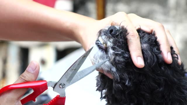 プードル犬の頭のグルーミング - ビションフリーゼ点の映像素材/bロール