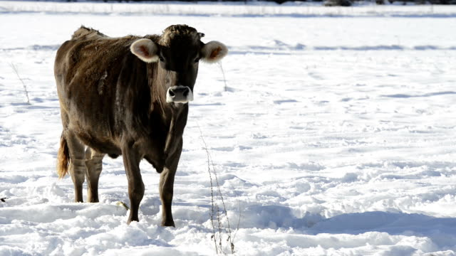 Grop of cows in the snow video