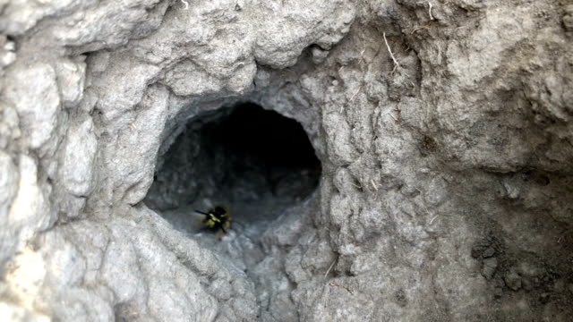 ground hornets flying - hornisse stock-videos und b-roll-filmmaterial