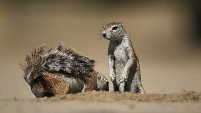 接地 squirrels - 動物の雄点の映像素材/bロール