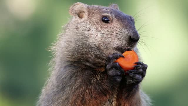 Groundhog closeup center eating carrot in hands turns head at end Groundhog, Marmota monax, closeup clean background.  Closeup of groundhog, woodchuck, marmot, gopher, cute brown furry animal. groundhog day stock videos & royalty-free footage