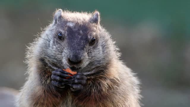 Groundhog closeup eating carrot in hands center exits scene left Groundhog, Marmota monax, closeup clean background.  Closeup of groundhog, woodchuck, marmot, gopher, cute brown furry animal. groundhog day stock videos & royalty-free footage