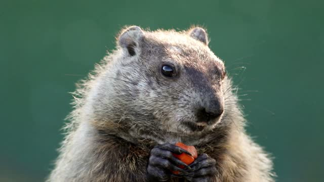 Groundhog closeup eating carrot in hands center green background Groundhog, Marmota monax, closeup clean background.  Closeup of groundhog, woodchuck, marmot, gopher, cute brown furry animal. groundhog day stock videos & royalty-free footage