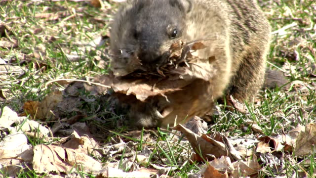 Groundhog collecting leaves video