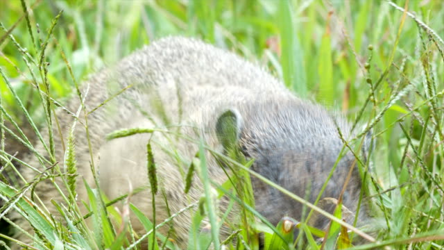 Groundhog Eating Grass in the Blue Ridge Mountains near Asheville video