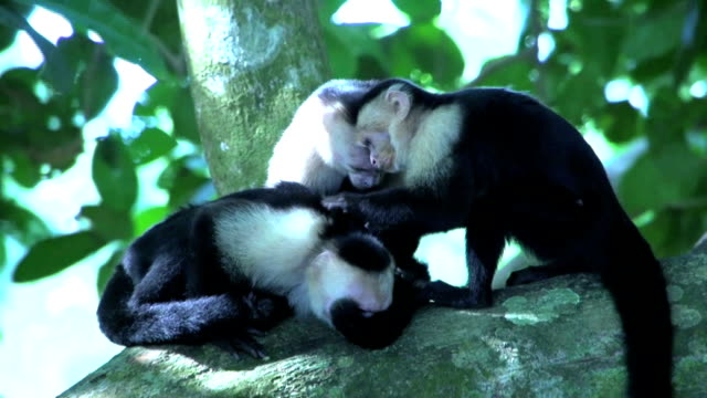Group capuchin monkey searchings for fleas Group capuchin monkey searchings for fleas in a tree flea insect stock videos & royalty-free footage