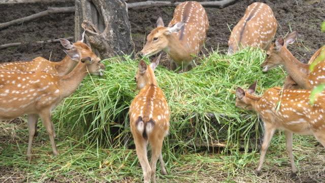 group deer eating green grass - jeleniowate filmów i materiałów b-roll
